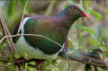 Kererū Collection